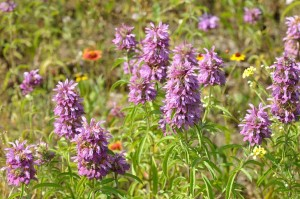 fb-6106-purple-horsemint-1